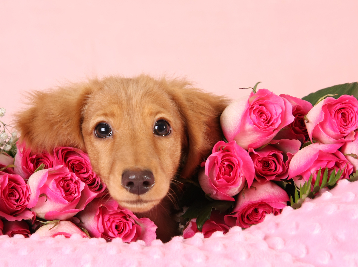 Valentine's Day Dogs and puppies