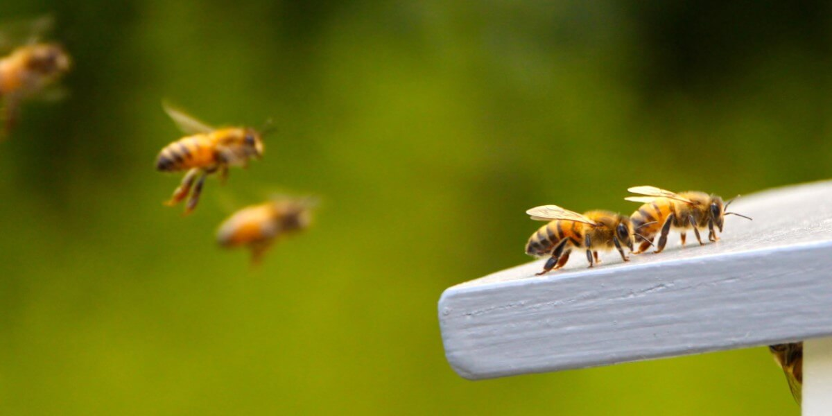 How to Save the Honeybees